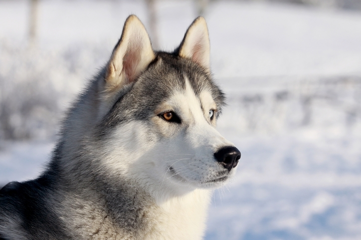 5 Defining Characteristics of Siberian Huskies